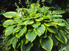 Satisfaction hosta in container ~ 4th year