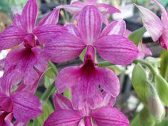 Orchid: Calanthe rubens