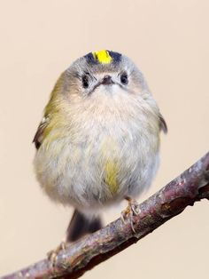 Goldcrest. These feathered friends are the tiniest of the tiny.
