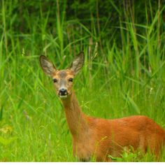 Sarenka :) #polesie  #poleski #sarna #roe #ciekawa #natura #animal #poland