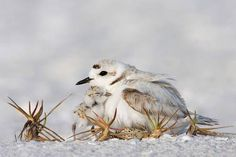 lindasinklings:    fairy-wren:    snowy plovers   (photo by jim urbach)    via (goodmemory)