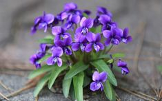 However, not to be overshadowed by the pinks and reds is the vibrant purple hue of the violet. Amazing Flowers, Purple Flowers, Wild Flowers, Beautiful Flowers, February Birth Flowers, Violet Plant, Month Flowers, Flower Cart, The Violet