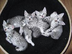 Silver Egyptian Mau | Egyptian Mau Kittens for Sale