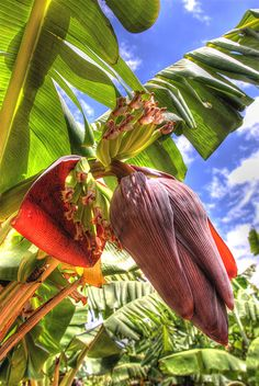 Anatomy of Bananas.   The flowering and fruiting portions of a banana tree in the Maui Tropical Plantation.