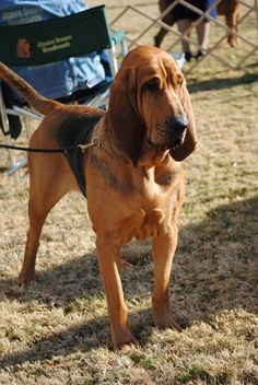 i WILL have a bloodhound when i have my own house. as well as a nose ring.