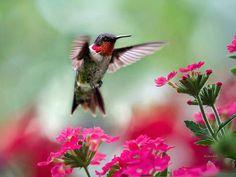 Hummingbird Art Print Fine Art Photography Prints Bird Photography Hummingbird Photos, Wildlife Prints Pink And Green Bird Wall Art Prints Hummingbird Photos, Hummingbird Art, Humming Bird Feeders, Humming Birds, Vida Natural, Natural Beauty, Bird Wall Art, Square Art, Colorful Birds