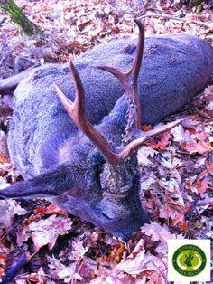 Roe deer hunted with Monteros Galaicos (2013).