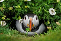 【とり、鳥、Bird】 癒やしの鳥 パフィン
