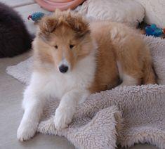 Rough Collie puppy.