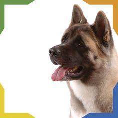 El Akita Americano tiene sus orígenes en Akita, Japón. Su historia es la misma que la del Akita Japonés. El Akita con línea americana tiene gran orientación hacia la defensa y presenta máscara negra, los puede haber con cabeza negra. Antiguamente eran utilizados como perros de pelea. Es amistoso, alerta, valiente y sensible. Es una excelente mascota de compañía con grandes instintos de perro guardián. Husky, Corgi, Animals, Japanese Akita, Guard Dog, Lineman, Pets, Historia, Gatos