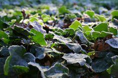 A field of frozen Ivy