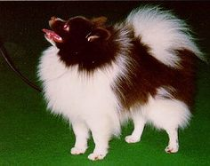 The German Spitz is actually a content, intelligent, friendly dog. There should be no signs of nervousness or aggression.