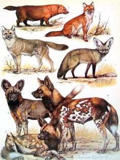 Animal Print - Jackal and Foxes - 1972 Vintage Encyclopedia Print Book Page 2 Sided