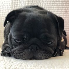 Cute Pugs, Cute Funny Animals, Cute Baby Animals, Grumble Of Pugs, Baby Pugs, Cute Dogs And Puppies, Pug Love, Cute Animal Pictures, Cute Creatures