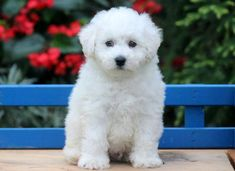 This is a sweet & handsome Bichon puppy! He is an amazing little puppy with a big personality! This puppy is ACA registered, vet checked, vaccinated, Super Cute Puppies, Cute Dogs And Puppies, Little Puppies, Doggies, Bichon Puppies For Sale, Puppies Puppies, Animal Pictures, Cute Pictures, Bichon Frise