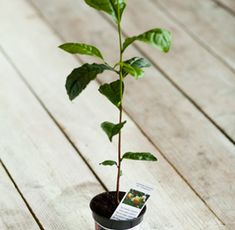 Image result for camellia sinensis in winter