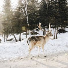 We just got back to our hotel after spending the entire day outside enjoying nature and discovering Canadian wildlife (and hand feeding them carrots 😉🥕). We crossed paths with moose, elk, bison, wolves, and probably the cutest arctic fox on the planet. It was so refreshing to get some fresh air, eat some poutine and just soak up the sun, despite the -17 weather. ❄️We loved @parcomega and we both think it is such a great place to visit for any age! 🙂 #flyporter #parcomega #ilovedeer…