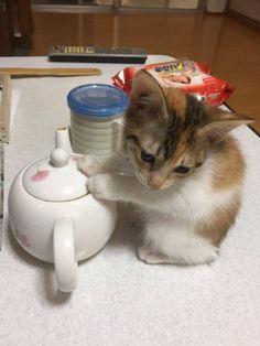 天使な猫ちゃんに癒される ヒーターを消したら急須に移動した子猫がたまらないかわいさ / 日本の仔
