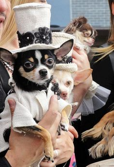 Chihuahuas are excellent pets, but a dog owner must bear in mind that the Chihuahua lifespan is shorter compared to human lifespan. That said it is important that the owner to make sure that his/her Chihuahua has a long and happy life. Cute Chihuahua, Chihuahua Puppies, Cute Puppies, Cute Dogs, Little Dogs, Costume Chien, Baby Animals, Cute Animals, Pet Fashion