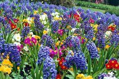 spring flower garden with hyacinths