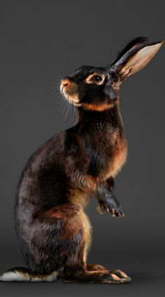 PETER SAMUELS JACK (THE BELGIAN HARE)