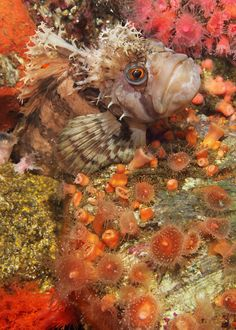 Decorated Warbonnet (or Blenny) is a salt water fish found in the North Pacific from Kamchatka, Russia through the Aleutian Chain and the Bering Sea to the Bering Strait coasts of Alaska and Humboldt Bay, California.