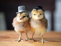 chickens in hats | Tumblr
