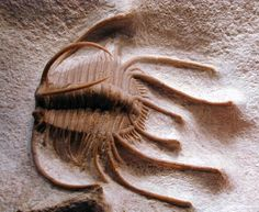 Middle Ordovician 470 million years old  Found in: Lower Ordovician Wolhovian Level deposits of the Wolchow River region near St Petersburg, Russia  Species: Odontopleurid Boedaspis ensifer