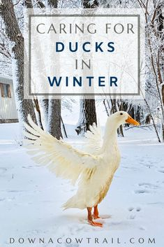 Tips for keeping your ducks happy in winter. Ducks are hardy birds and will stay healthy while tolerating cold weather if you provide for 3 basic needs. A few varied photos that I like Coyote Hunting, Pheasant Hunting, Archery Hunting, Pet Ducks, Baby Ducks, Raising Ducks, Raising Chickens, Duck Pens, Duck Duck