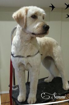 I normally like my doodle shaggy but if we have to go short this is what I want. More. Adult goldendoodle after haircut