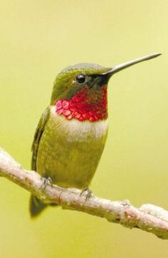 Hummingbird Migration & Nature Celebration: Sept. 11-13, 2015 (9am-5pm)   Strawberry Plains Audubon Center