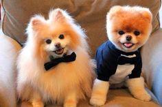 boo et buddy deux chiens mignons peluches vivantes 7   Boo et Buddy   web star spitz pomeranien photo peluche nain loulou de Pomeranie image...