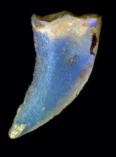Opalised dinosaur tooth - Australia Museum
