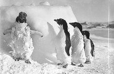 Ice cased Adelie penguins after a blizzard at Cape Denison /...