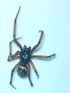 Species: Steatoda nobilis male  Credit: Santjie Spear  Identify your house spiders with our FREE app! https://www.societyofbiology.org/get-involved/hands-on-biology/spider-app