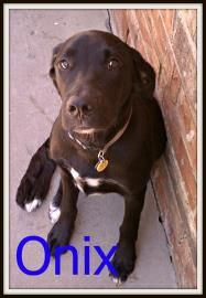 My name is Onix and I am a 5 month old Retriever mix puppy. I was returned because I didnt like when my toys were taken away from me. I would do great in a home with no small children. I am a very sweet dog to adults and would love a place I can run around and play. Come by and meet me at the Tulsa Humane Society (Tulsa, OK)