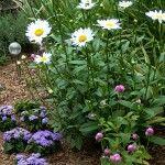 Shasta daisy gomphrena, ageratum http://www.joenesgarden.com/