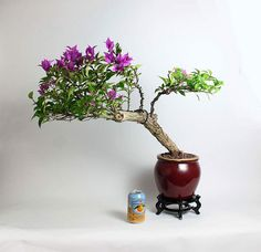 "Pixie Bougainvillea Bonsai tree ""Fall Tropical Collection"" by LiveBonsaiTree by LiveBonsaiTree on Etsy Bonsai Tree Types, Indoor Bonsai Tree, Mini Bonsai, Bonsai Art, Bonsai Trees, Bougainvillea Bonsai, Bonsai Nursery, All Plants, Planting Plants"