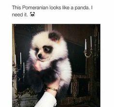 Cute pup looks like a baby panda.