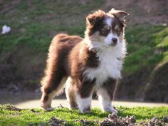 The Miniature Australian Shepherd was developed in California in 1968. The original breeders were horse enthusiasts who wanted a small breed dog derived from an Australian Shepherd. At 13-14 inches tall and weighing in at 20-40 lbs., these dogs are almost exact replicas of their larger ancestors.