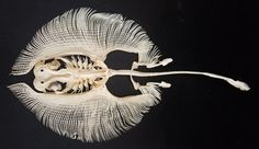 A skeleton of a yellow stingray against a black background. it has a round array of tiny skeletal bones that make up the fins and a long tail Fish Skeleton, Skeleton Art, Skeleton Photo, Animal Skeletons, Animal Skulls, Stingray Fish, Animal Bones, Illustration, Tier Fotos
