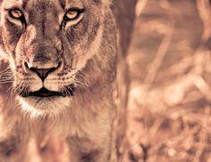 Lioness my-work