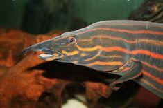 Fire eel – RechercheGoogle Freshwater Aquarium, Aquarium Fish, Convergent Evolution, Sea Snake, Monster Fishing, Make Up Art, Catfish, Tropical Fish, Marine Life