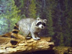 Dollhouse-Miniature-Raccoon-Handsculpted