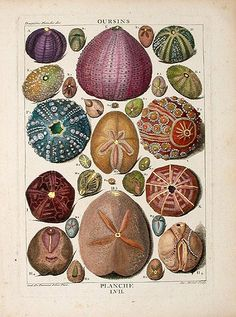 Original Hand Painted Engraving displaying different species of urchins. Dezallier d'Argenville, 1788.