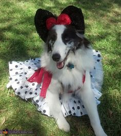 Rose: Sophia my sheltie is wearing her Minnie mouse outfit. Being disabled money is tight, found the dress at t thrift store for $5.49 and found the headband at dollar store....