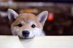 Shiba-inu x 854 px] - Animals/Dogs - Pictures and wallpapers Baby Animals, Funny Animals, Cute Animals, Funny Cats, Chien Shiba Inu, Cute Puppies, Dogs And Puppies, Adorable Dogs, Corgi Puppies