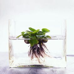 pond in a glass (A water hyacinth floats in a glass vase, which shows off the plant's delicate roots).