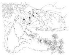 Desert Animals Coloring Pages : Badger