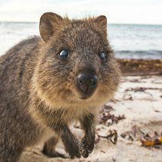 "#HappyQuokkaMonday!! I say ""cute"" you say ""quokka"". ""Cute"" ""quokka"" ""Cute"" ""quokka"".  Going back to Rottnest Island in 3 weeks! Can't wait #rottnest #rottnestisland #quokka #quokkas #perthlife #thisisWA #amazing_wa #perth #australia #nakedplanet #dailyanmls by daxon http://ift.tt/1L5GqLp"